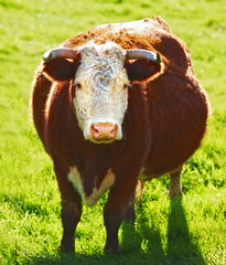 A photo of a Red cow in New Zealand