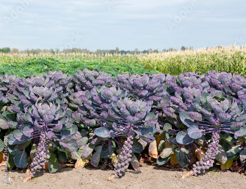 Purple sprouts