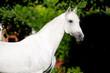 White horse stallion portrait, Tersk horse