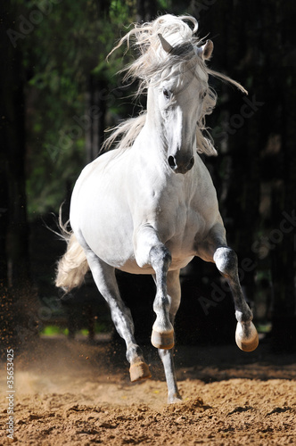 White horse runs gallop in sand - 35653425
