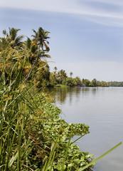 tall reed grass banks Kerala Backwater