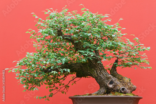Foto op Canvas Bonsai bonsai - Zelkova tree