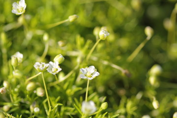 Blossoming moss
