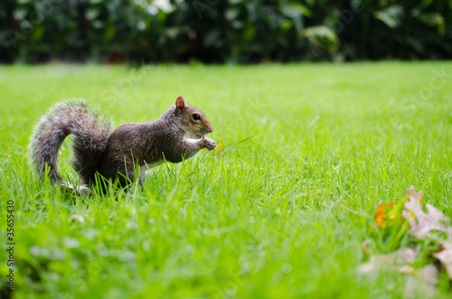 Squirrel eats on grass