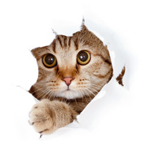 """Постер, картина, фотообои """"cat looking up in paper side torn hole isolated"""""""