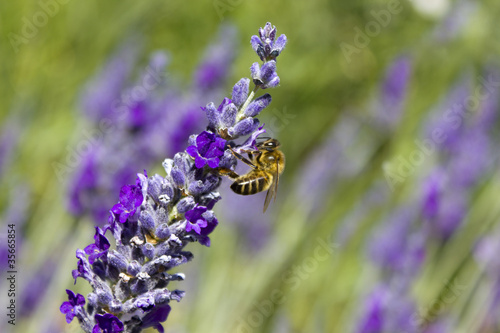 Lavender Honey Bee