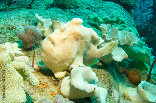 Stealth Frogfish in soft coral feild