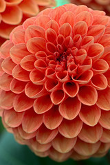 Crimson chrysanthemum flower head
