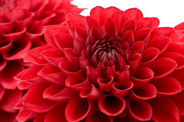 Red chrysanthemum flower head