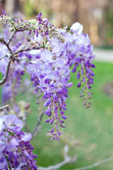 Drooping Wisteria