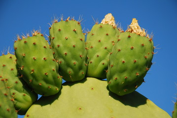 Prickly pear cactus, Halki, Greece