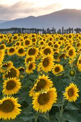 campo di fiori gialli