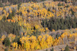 aspen trees on the hill in autumn time