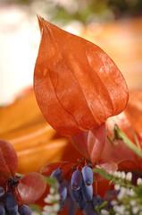 calluna vulgaris heather in autumn Physalis