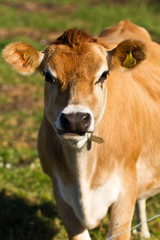 Jersey cow in Jersey