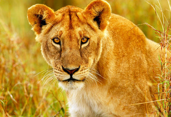 Beautiful wild african lioness