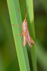 A short-horned grasshopper (Acrididae sp.) on a grass stem