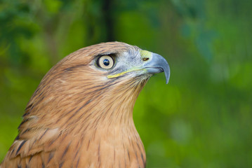 Portrait of Long-legged Buzzard (Buteo rufinus).