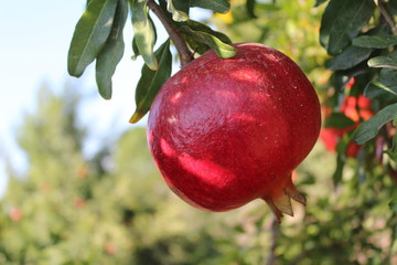 Beautiful red pomegranate on the tree, in a field