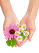 Hands of woman holding herbs – echinacea, ginkgo, chamomile
