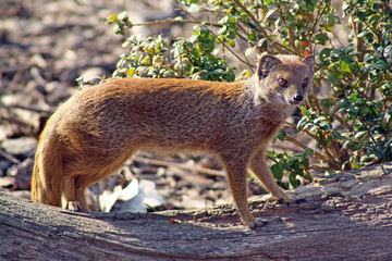 a beautiful mongoose