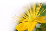 Serie Heilkräuter - Johanniskrautblüte
