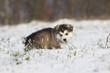 jeune alaskan malamute en hiver