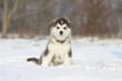 chien nordiquie assis dans la neige