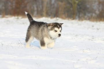 young alaskan malamute walking on the snow