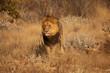 Leone africano nella savana