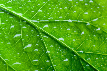 Green leaf texture with droplets. Macro