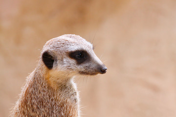 Upright Meerkat on Sentry with Matching/Camouflage Background