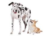 Harlequin Great Dane and aPembroke Welsh Corgi dog poster