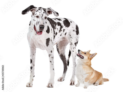 Harlequin Great Dane and aPembroke Welsh Corgi dog
