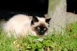 Junge Ragdoll Katze