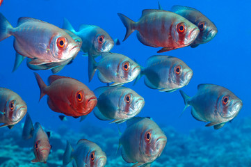 School of bigeye over blue background.