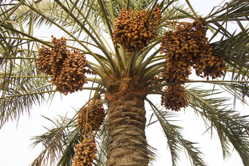 Dates on a date palm tree