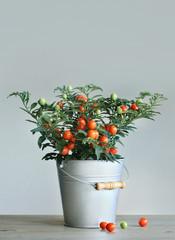 Tomatenbäumchen