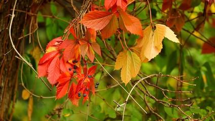 Осенний лес - дикий виноград