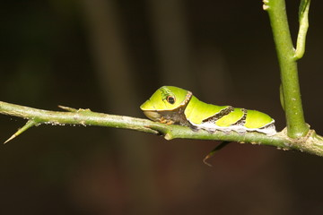 larva of Swallowtail butterfly