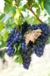blaue weintrauben. purple red grapes on the vine