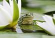 Frog among white lilies