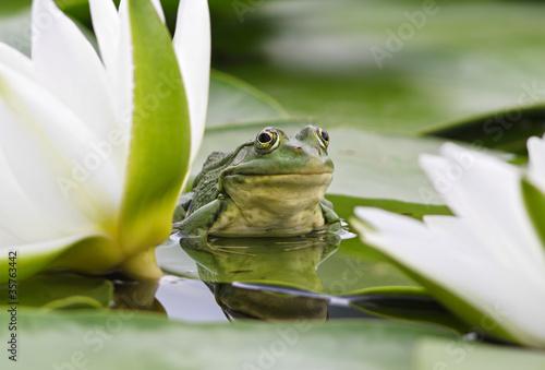 Leinwanddruck Bild Frog among white lilies