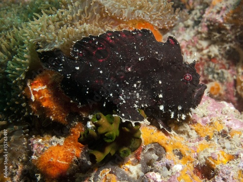 Frogfish - Antennarius sp.