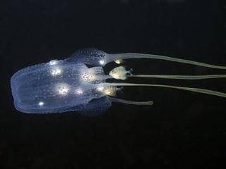 Box Jellyfish - Tamoya haplonema