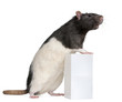 Fancy Rat, 1 year old, standing against box