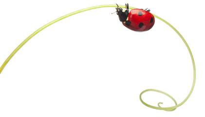 Seven-spot ladybird or seven-spot ladybug on Larger Bindweed