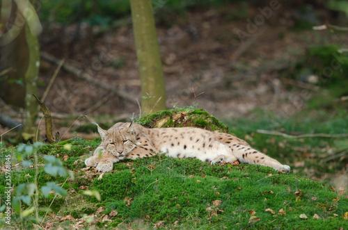 Fotobehang Lynx Eurasischer Luchs, European lynx, Lynx lynx