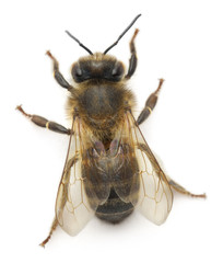 Female worker bee, Anthophora plumipes