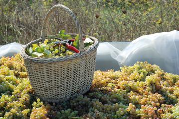 raccolta dell'uva bianca